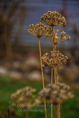 Standing Tall (OksiesWorld) Tags: winter usa green nature grass closeup mi outside outdoors micro manual burton denoise topazlabs topazadjust nikond3100