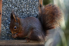 Squirrel 2015-02-06_01 [Explored 2015-02-22] (Jan Thomas Landgren) Tags: nature animal animals göteborg mammal squirrel sweden wildlife sony gothenburg natur sverige tamron mammals ekorre djur däggdjur tamron150600mm sonya77ii sonyilca77m2 sonya77mark2