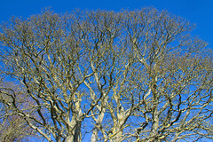 Branches (52/365) (Patrick_Down) Tags: uk england tree branches northumberland chollerford day52 day52365 365the2015edition 3652015 21feb15