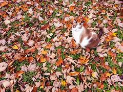 Ruby Likes the Fall Leaves (Caitlin Worth) Tags: paris animals cat unitedstates kentucky ruby