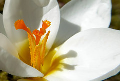 Crocus (Claude@Munich) Tags: orange white flower macro germany garden bayern bavaria spring oberbayern upperbavaria crocus pistil stamen blume makro blte weiss garten krokus frhling iridaceae weis staubbltter claudemunich frhblher frhjahrsblher griffel knollenpflanze schwertliliengewchs top20spring staubgefs crocoideae