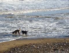 Playing (Martha-Ann48) Tags: sea dogs water animals seaside surf walk yorkshire side north shingle east shore bridlington spume