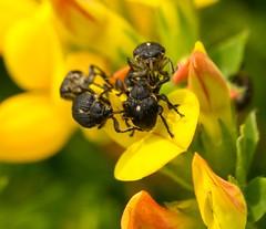 Mononychus punctumalbum (Rikski) Tags: beetles rare weevil coleoptera mononychus punctumalbum rikski