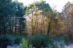 Thse-la-Romaine (Loir-et-Cher) (sybarite48) Tags: winter france pine pin hiver den invierno pe pino inverno kiefer  zima   sinter am pinheiro loiretcher k kis sosna        thselaromaine ea