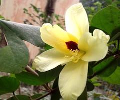 Kanchan (Arnab1973) Tags: flowers from wild kanchan cream yellow flower bengal flowerfrombengal bauhiniatomentosa bauhinia flowersofindia flora