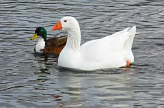 Duck And Goose! ('cosmicgirl1960' NEW CANON CAMERA) Tags: nature water birds bills cymru feathers snowdonia waterbirds gwynedd beaks northwales llynpadarn yabbadabbadoo