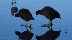 Coots on Ice (Dr Wood's Wildlife Photos) Tags: coot meerkoet fulicaatra linlithgowloch folaga foulquemacroule nokikana szárcsa fochacomún lyskazwyczajna