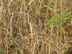 Leopard Hiding in the Bush