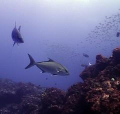 Dive20150209P20 (bobmccormackmobile) Tags: underwater diving olympus lordhoweisland ballspyramid olympusem5