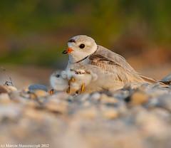 Come to mommy (v4vodka) Tags: nature animal wildlife chick birdwatching plover pipingplover shorebird charadriusmelodus pipingploverchick birdbirding sieweczkablada