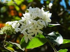 Araliya Flowers (bishrulhaq) Tags: flowers white nature whiteflower asia srilanka araliya araliyaflower