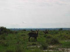 Antelope in Queen Elizabeth National Park