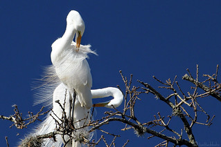 Great Egret Limbs