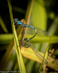 Common Blue Damselflies (Enallagma Cyathigerum) (cconnor124) Tags: nature canon wildlife insects canoneos naturephotography canon100mmmacrolens flyinginsects uknature wildlifephotography explored beautyofnature inexplore insectphotography insectsmating commonbluedamselflies