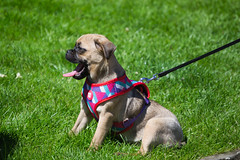 Cute Pug dog panting in 33 degrees Celsius yesterday - July 2016 (I.T.P.) Tags: dog cute pug heat panting