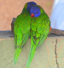Don't bother us! (The Pocket Rocket) Tags: rainbowlorikeets trichoglossushaematodus barcaldine queensland australia  h