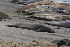 Northern Elephant Seals (J.B. Churchill) Tags: ca california elephantseals mammals places pointpiedrasblancas sanluisobispo taxonomy sansimeon unitedstates us