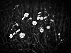In a meadow IV (Petr Horak) Tags: nature flowers garden closeup field grassland meadow flower photography macro manual lens prime voigtlnder nokton nokton175mmf095 novknn stedoeskkraj czechrepublic cze
