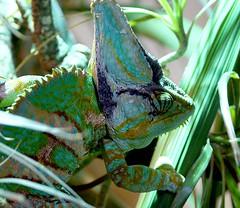 Chameleon Lizard (Annette Rumbelow) Tags: reptile lizard chameleon longleatsafaripark chameleonlizard colourchanges annetterumbelowwilson slowmovinglizard longleatgrounds extensibletongue communicationthroughcolourchange