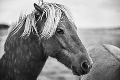 I need a hairbrush (Budoka Photography) Tags: pony horse blackandwhitephotos bw blackandwhite monochrome sonyalphailce7rm2 canonfd50mmlf12 50mm primelens legacylens bokeh canonllens animal outdoor hkanolsson holsson