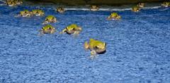 The Frog Hatchery 5 (DarkOnus) Tags: macro texture pool closeup swimming lumix pennsylvania gray cement frog panasonic textures tadpoles monday 2d eastern animalplanet treefrog buckscounty tadpole mondays hatchery flickrphotowalk macrotextures macromondays dmcfz35 darkonus thefroghatchery