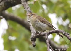 Wood Warbler (Greg Miles) Tags: woodwarbler
