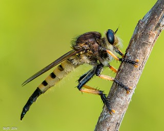 Red-footed Cannibalfly -Explored- DSC_4492