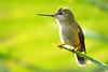 Picaflor / Chile (Leon Calquin) Tags: chile travel santiago bird flickr hummingbird photos hiking aves viajes leon ave fotos catalog pajaro diseño senderismo videos catalogo chilenas picaflor calquin leoncalquin quincal