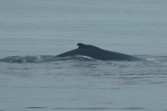 2016-07-22 S9 JB 102633b#cvga1ER (cosplay shooter) Tags: humpback humbackwhale buckelwal wal norwegen norway polarkreis nordpolarkreis nordkap northcape arcticcircle x201608 100a norge
