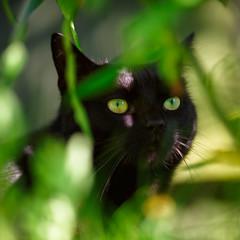 Henri - Jungle Cat! (Jonathan Casey) Tags: cat black nikon d810 200mm f2 vr garden