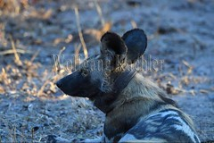 10075519 (wolfgangkaehler) Tags: africa portrait closeup nationalpark african wildlife science collar predator zambia africanwilddog southernafrica predatory 2016 africanhuntingdog scientificresearch zambian southluangwanationalpark africanwilddoglycaonpictus