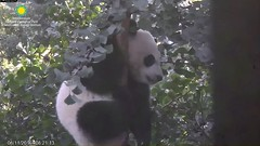 2016_08-11a (gkoo19681) Tags: beibei treetime climbing dangling ccncby nationalzoo