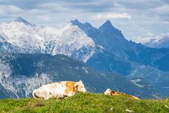 Two cows with a spectacular view (harald.bohn) Tags: austria ku kyr cow cows view utsikt mountains fjell beite hyfjell sterrike alpene alps grazing landscape landskap fornydku fornydekyr kumedutsikt affof 2016 kitzbhel