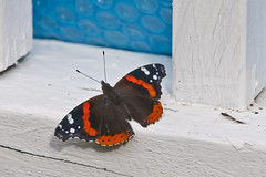 Red Admiral(Vanessa atalanta) (cj howitt) Tags: home garden butterfly kingston ontario closeup