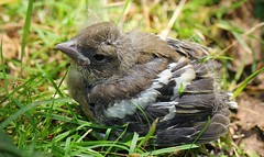 Chaffinch 140716 (1) (Richard Collier - Wildlife and Travel Photography) Tags: birds wildlife naturalhistory british chaffinch