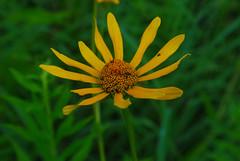 Sunflower, tbd (wackybadger) Tags: wisconsin trempealeaurivermeadowsna sna346 nikon wisconsinstatenaturalarea buffalocounty