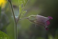 Zauberpflanze (Makromaus_Ahrweiler) Tags: atropabelladonna tollkirsche deadlynightshade solanaceae nachtschattengewchse solanales nachtschattenartige makro macro naturaufnahme nature