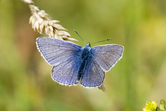 Common Blue (201/366) (AdaMoorePhotography) Tags: insect wildlife wild nikon nature natural 200500mm 366 england essex countryside coalhousefort coastal marsh marshes animals