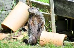 DSC_0205 (rachidH) Tags: rodents marmot groundhog woodchuck marmotamonax marmotte sparta nj rachidh nature