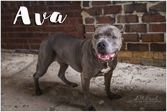 Ava (living_dead_babe) Tags: bully dog breed charity animal woof