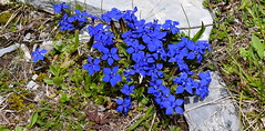 Beaut bleue Blue beauty (CHAM BT) Tags: bleu gentiane fleur montagne printemps alpes blue flower mountain spring alps