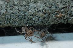 Zygiella Courtship (Procrustes2007) Tags: missingsectororbweaver zygiellaxnotata spider arachnid nikond50 afsnikkor1855eddx closeuplens flash greatcornard sudbury suffolk uk britain england gridreftl883407