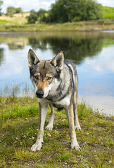DSC00700 (Andrew Gibson.) Tags: lakedistrict maleswolf sonya7ii sonyilce7m2 thepredatorexperience wolves wolf wildlife wolfhybrid predatorexperiencecouk maska kajika outdoor animal