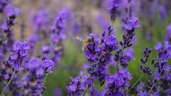 Lavender and Honeybee (Billy K. Chen) Tags: newyork newyorkstate longisland roadtrip daytrip weekendgetaway lavender flower lavenderfield eastmarion suffolkcounty honeybee nature macro shallowdof depthoffield closeup lavenderbythebay