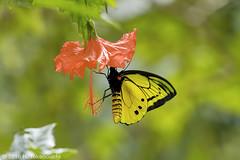 Ornithoptera goliath ♂ (Hiro Takenouchi) Tags: ornithoptera papua indonesia insect butterflies butterfly schmetterling kupu papilionidae birdwing