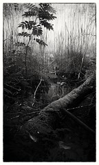L' Afrique noire (Anima Tavernaris) Tags: swamp trento trentino italy biancoenero blackandwhite bw african pond stagno palude grass musk wood water naturalreserve
