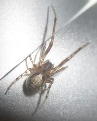 IMG_2374 Spider (John Steedman) Tags: spinne araigne araa uk unitedkingdom england   greatbritain grandebretagne grossbritannien      durham
