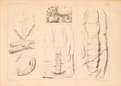 zeitschriftderd141862deut_0837 (kreidefossilien) Tags: schlter crustacea decapoda cenomanian cretaceous turonian santonian northrinewestphalia