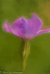 Flowers From the Garden (Kitsanne) Tags: lensbaby composerpro open plasticlens kenkoextension d80 attheedgeofthegreatbearrainforest purple wildflowers topaz impression