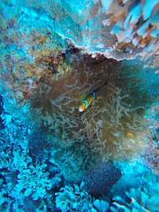 Anemone fish, Marshall Islands!